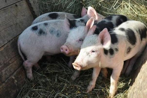 3-Roemeense varkenshouders willen opheffing exportverbod