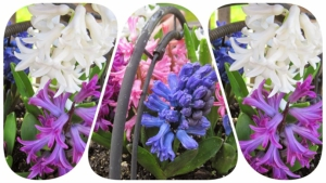 Geremigreerde Roemeen start kweekbedrijf hyacinthen