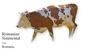 Roemeense melkveehouders willen steunmaatregelen