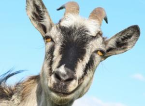 Roemeense regering steunt houders van schapen,bokken en geiten