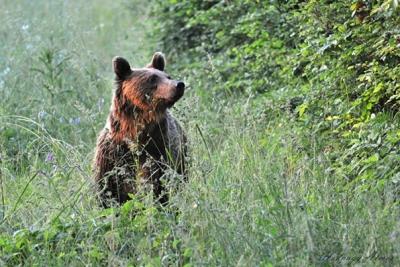 Regering gaat jacht op beren, wolven en lynxen verbieden
